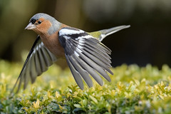 Flying chaffinch (Paul Wrights Reserved) Tags: chaffinch chaffinches bird birding birds birdphotography birdwatching birdinflight animal animals action actionphotography wing beak