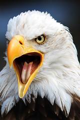 Eagle (altmeyerphotography) Tags: eagle bird portrait neunkirchen zoo canon 700d