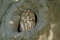 (Explore) Tawny owl (Strix aluco) Bosuil (Ron Winkler nature) Tags: tawny owl strixaluco strix aluco bosuil bird birding birdwatching birdwatcher nature wildlife netherlands nederland europe canon 5div 500mm 14iii