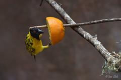 Yellow bird with orange (Jan Slob) Tags: bird vogel rotterdam blijdorp netherlands holland zuidholland sinaasappel nikon nikond750 yellow ©allrightsreserved nikon7020028 explore