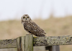 short eared owl taking a break in  the blustery wind (alderson.yvonne) Tags: short eared owl yvonne yvonnealderson wild perched hunting