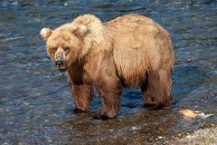 Big Mama (jpmckenna - Madagascar Trip Now) Tags: katmai katmainationalpark bears brownbears brooksfalls alaska