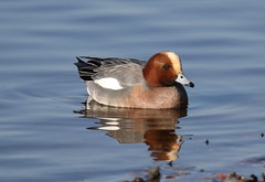 0M2A4320 Wigeon (kevin_livesey) Tags: wildlife nature wetlands martinmere wwt birdwatching bird duck wildfowl wigeon