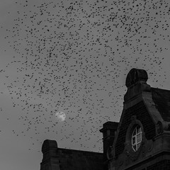 Incoming (evans.photo) Tags: fuji ceredigion monochrome blackwhite aberystwyth nature flock moon starlings birds