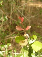 Lawsonia inermis (tammoreichgelt) Tags: hina henna tree mignonette egyptian privet leaves foliage red mosriya ilgerei allan elan mkokoa muhina