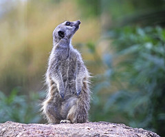 Meerkat : Listen . . . (Clement Tang **busy**) Tags: carnivora herpestidae mammalia mammal nature nationalgeographic closetonature closeup concordians macrophotography autumnafternoon travel victoria australia mongoose werribeeopenrangezoo meerkat suricatasuricatta ngc insectivore