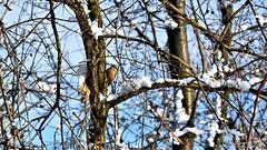 Waiting for spring (Szymon Karkowski) Tags: outdoor winter snow bird nuthatch tree branches nature silesian voivodeship gliwice poland nikon d7100