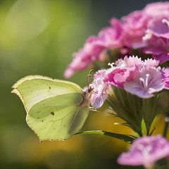 Et toujours en été -*--- ° (Titole) Tags: citron butterfly papillon oeilletdupoète pink titole nicolefaton squareformat commonbrimstone thechallengefactory