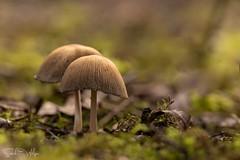 Glistening Inkcaps (SarahW66) Tags: glisteninginkcap mushroom mushrooms fungi plant plantmacro naturalbokeh naturephotography natural britishnature sigmanature canoneos80d canon sigma sigma105mm sigmamacro macrolens macrophotography
