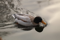 'Underway, ahead standard' (charliejb) Tags: duck mallard male pond water swim feathered feathers feather bill beak avian 2019 bristolzoogardens bristolzoo bristol wildlife