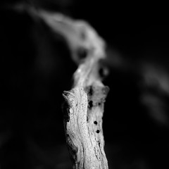 In Canyons 301 (noahbw) Tags: california d5000 dof nikon torreypinesstatereserve abstract autumn blackwhite blackandwhite blur branches bw decay decaying depthoffield desert minimal minimalism monochrome natural noahbw square treetrunk trees weathered