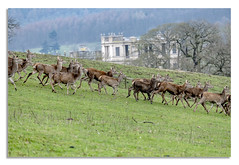 Chatsworth House, Young stag and this lady friends. (johnhjic) Tags: johnhjic stag running chatsworth house trees feild animal dear dears deer deers fawn fawns farmland park