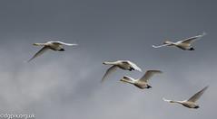 Whooper Swan Migration (Danny Gibson) Tags: swan swans whooper whooperswan migrant migration bird birds birdsinflight birdwatching birdphotography birder wildlife wildlifephotography nature naturephotography canon7dmk2 sigma150600mmhsmosdg dgpixorguk