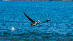 Costa Rican Pelican (Lud_fgt) Tags: costa rica 2019 family trip amazing landscape sony 6300 manuel antonio national park nature pelican sea beach animal animals wild life fly
