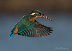 Hover at full stretch (muppet1970) Tags: kingfisher hovering wings colour bird swt suffolkwildlifetrust female suffolk lackfordlakes