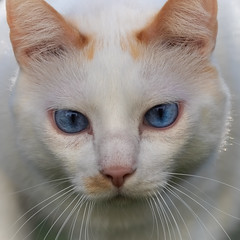 Eye to eye with Filou (FocusPocus Photography) Tags: filou katze kater cat chat gato tier animal haustier pet blaueaugen blueeyes