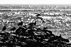 (mgschiavon) Tags: blackandwhite blackwhite bw bird abstract contrast sea california