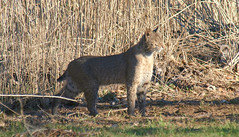 3 All Cats Enjoy The Warmth Of The Sun (Kaptured by Kala) Tags: bobcat wildcat bigcat lynxrufus carnivore predator hunter whiterocklake dallastexas reinhartbranch mammal camouflage golden healthy large sunshineandshadows