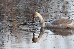 Mute Swan (Liam Waddell) Tags: mute swan water blue white pond noble dynamite factory ardeer stevenston irvine ayrshire reflection