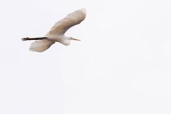 51836 - Grande Aigrette - Great Egret - Crop (xVanHovenx) Tags: aigrette egret grandeaigrette greategret oiseau bird ciel sky nature sonya7iii sigmamc11 sigma150600mmcontemporary animal
