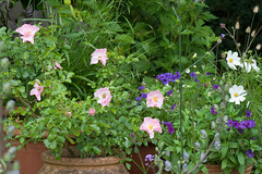 Container planting (Alan Buckingham) Tags: containers cosmospurity cosmosbipinnatuspurity garden phlox21stcenturyblue pink pots rosaqueenmother rose terracotta waldrondowncottage