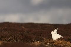 Mountain Hare (Derbyshire Harrier) Tags: mountainhare wintercoat winter march lepustimidus moorland peakdistrict peakpark derbyshire darkpeak 2019 darkskies