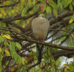 Rain 20161210 (caligula1995) Tags: 2016 aldertree birdwatching mourningdove rain