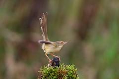 Plain prinia (jonus weng) Tags: supershot plain prinia bird moss tail warp feather plumage