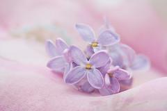 A Lilac (Inka56) Tags: lilac macromondays pastel dreamy soft flowers bokeh gently pink purple light macro