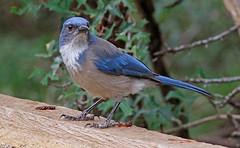 Woodhouse's Scrub Jay (1krispy1) Tags: corvids jays scrubjay woodhouselsscrubjay texasbirds