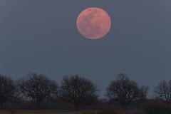 Supermoon Rising | March 2019 (Harles99) Tags: moon supermoon wormmoon astrophotography stars nightsky texas farm bloodmoon redmoon fuji fujixt3 xt3 canon500mm