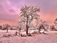 STREUOBSTWIESE NACH SCHNEEFALL (hlh 1960) Tags: winter snow schnee trees bäume obstbäume landschaft landscape streuobstwiese himmel sky farben colour outside outdoor home heimat wiese stille ruhe harmony