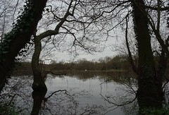 A swan swam by (Phil Gayton) Tags: water tree grass reed sky cloud mute swan cygnusolor reflection river hems dart snipe island totnes devon uk