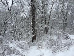 Snow on not cedars (afagen) Tags: washington dc washingtondc northportalestates colonialvillage rockcreekpark snow tree