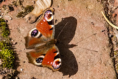 Tagpfauenauge (wb.fotografie) Tags: schatten märz sonne tagschmetterling schmetterling tagpfauenauge edelfalter aglais inachis nymphalis nymphalidae daybutterfly butterfly peacockbutterfly noblefolk aglaisinachis