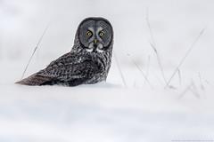 Great Grey Owl - Chouette Lapone (www.andrebherer.com) Tags: owl greatgreyowl hibou chouette chouettelapone bird birds birdsofprey oiseaudeproie nature wildlife faune fauna outaouais quebec canada andrebherer