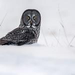 Great Grey Owl - Chouette Lapone thumbnail