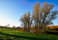 Trees in the meadow (M. Nasr88) Tags: zaanseschans trees travel thenetherlands nikon nature naturallight landscape fall europe digital d750 colorful autumn amsterdam amesterdam