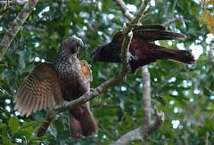 IMG_8429_lzn (kattabrained) Tags: nestormeridionalis bird squarking