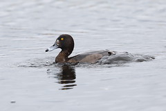 Coming Up (2 of 2) (Robin M Morrison) Tags: tufted duck breaking surface water westhay somersetlevels somerset somersetwildlifetrust female