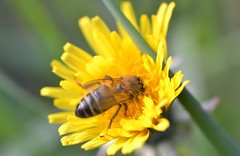 honey bee on dandelion (conall..) Tags: taraxacum officinale taraxacumofficinale dandelion yellowflower nikon afs nikkor f18g lens 50mm prime primelens nikonafsnikkorf18g closeup raynox dcr250 macro bee honeybee apis mellifera apismellifera pollination flower minnowburn