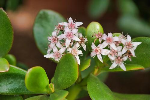 2019-01-26 - Nature Photography - Flowers - Jade