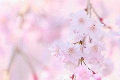桜: Cherry Blossoms (_n_hi_) Tags: blossom flower cherryblossom pink plant pastel