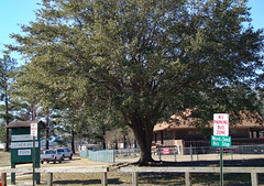 Tree At The Entrance To Luther Britt Park. (dccradio) Tags: lumberton nc northcarolina robesoncounty outdoors outdoor outside park citypark lutherbrittpark nature natural sky bluesky foliage tree trees greenery leaf leaves january winter saturday morning goodmorning saturdaymorning sign signs lutherbrittsign fence wood wooden weedseedbusstop busstopsign noparkingsign building beachhouse architecture roof ground grass lawn yard truck trucks pickup pickuptruck shadow branch treebranch branches treebranches treelimb treelimbs sony cybershot dscw230