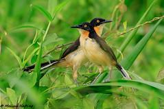 Black-capped Donacobius - Yasuni, EC (bcbirdergirl) Tags: blackcappeddonacobius ecuador yasuni napowildlifecentre yasuninationalpark donacobiuses donacobius amazon ec amazonia donacobiusatricapilla