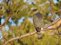 Cooper's Hawk (bencbright) Tags: coopers hawk sx60 canonsx60 explored