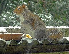 Stripe in the Snow! (Cornishcarolin. Just moved house!! BUSY!!! xxxxxx) Tags: cornwall penryn nature squirrels snow 1001nights wildanimals 1001nightsmagiccity 1001nightsmagicwindow1001 1001nightsmagicpeacock