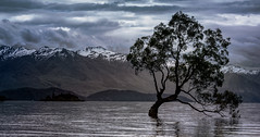 One more shot of the Lone tree in Lake Wanaka (Flight of life) Tags: lake wanaka lone tree new zealand