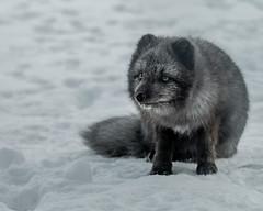 Arctic fox (creyala) Tags: arctic fox animal wild eyes gaze wilderness fur grey polar piesiec iceland thorsmork fluffy cute beautiful amazing wildlife tail paws four ears canon sigma