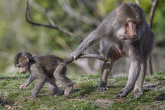 Built-in Leash (San Diego Zoo Global) Tags: animals nature sandiegozoo conservation wildlife baboon monkey primate